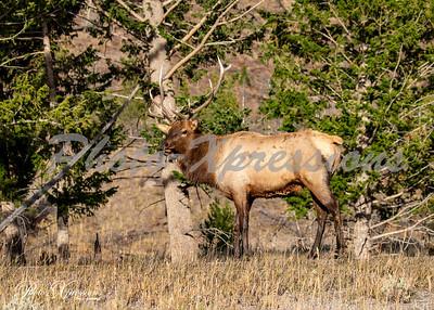 2-bull elk looking at me_5339