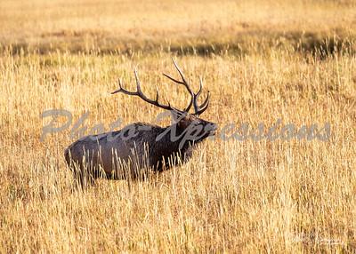 2-bull elk budging_5416