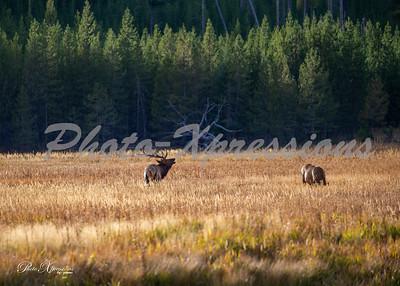 2-bull elk budging_5195