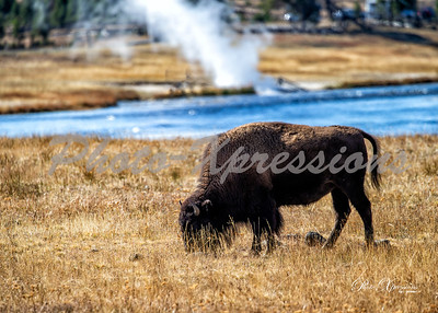 2-bison at river eating_4966