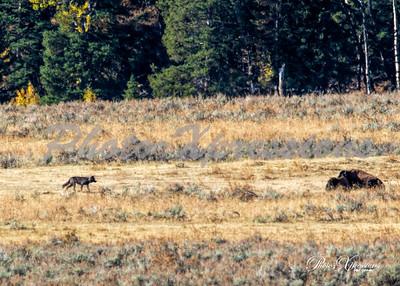 blk wolf-bison_0067