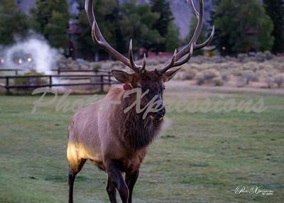 2-bull elk in town_5532