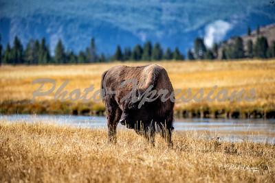 2-bison at river_4984