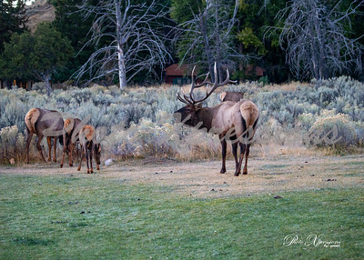 2-bull elk budgling_5545