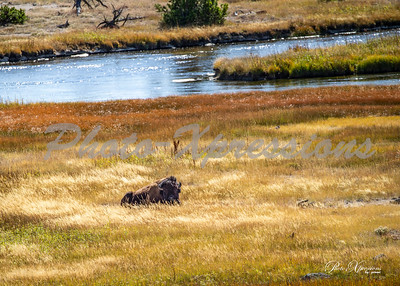 2-bison laying in high grass next to river_5135