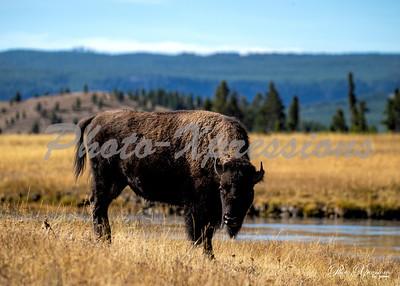 2-bison at river_4998