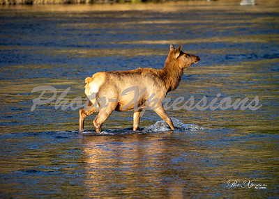 2-cow in river_5514