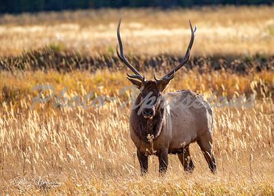 2-bull elk up close_5300