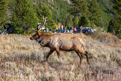 2-bull elk clode people in bg_5332