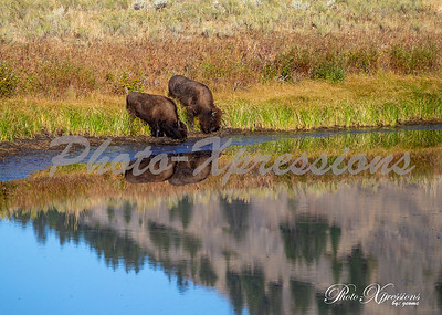 2-bison reflection_5580