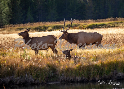 2-bull elk with cow_5220