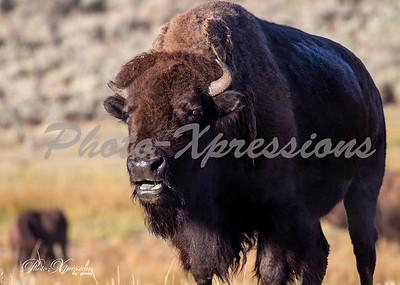 2-bison close_5560