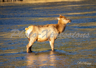 2-cow in river_5510