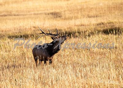 2-bull elk budging_5396