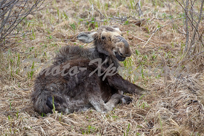 young moose laying down_9036