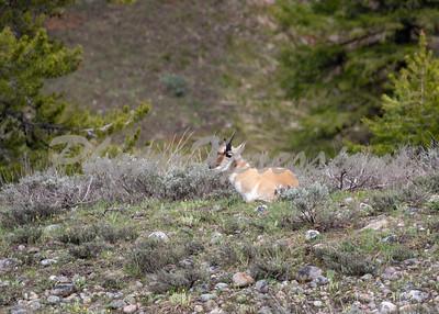 pronghorn antelope_8698