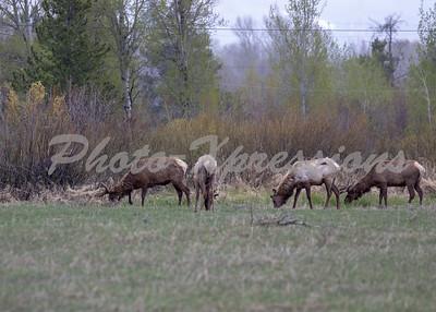 Elk herd ys_8449