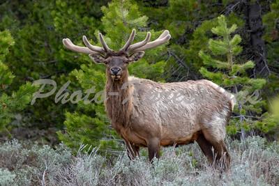 Bull Elk in velvet_8715
