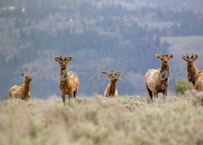 elk heard on hill top_8675