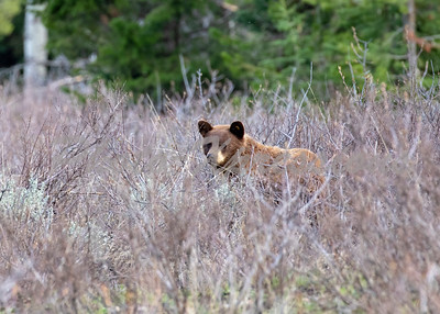Grizzly in tall grass_8870