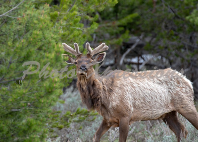 Bull Elk smaller one in velvet_8728