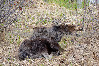 young moose speaking_8996
