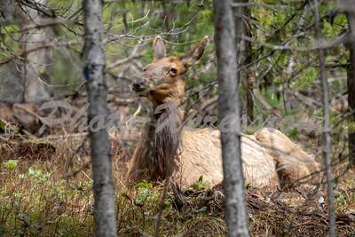 Elk laying low_8628