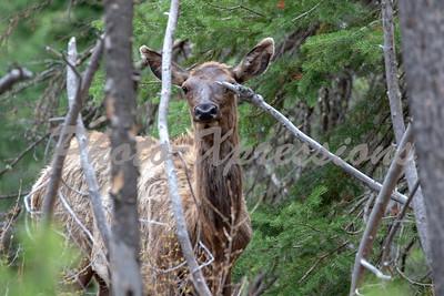 Elk close up ys_8300