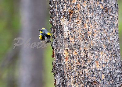 bird yellow small ys_8263