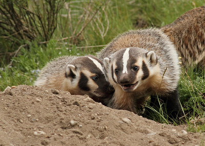 Badger Siblings