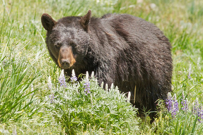 Black Bear on the Way to Lamar Valley