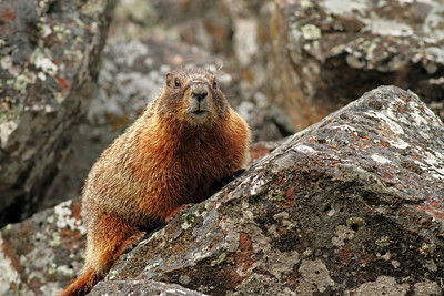 Marmot  at Sheepeaters Cliffs