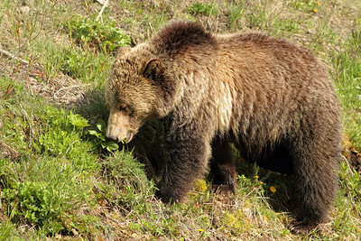 Young Grizzly eating dandelions at Sedge Bay in Yellowstone