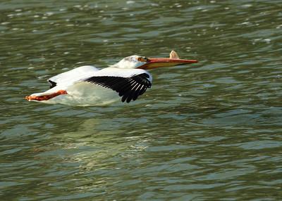 Pelican in Flight at Jackson Dam, Grand Tetons Wyoming