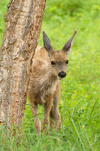 Young Mule deer Fawn