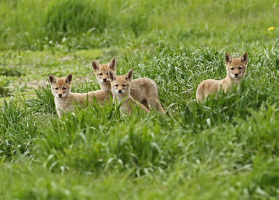 Coyote Pups in the Grand Tetons National Park