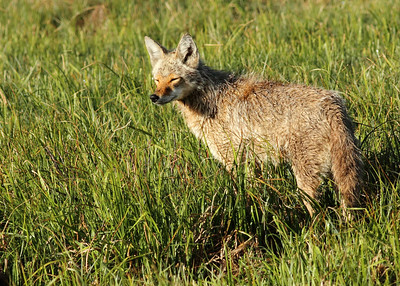 Coyote in a field in Yellowstone