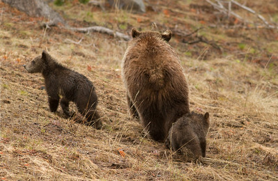 Mom Grizzly and Playful Cubs