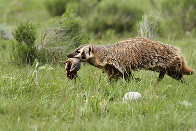 Badger Mom bringing back food to her cubs