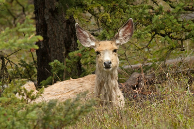 A Mule deer In Yellowstone National Park