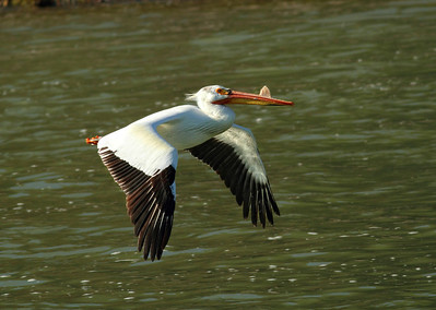 Pelican in Flight at Jackson Dam, Grand Tetons Wyoming