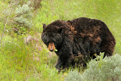 Black Bear Near Tower Roosevelt in Yellowstone