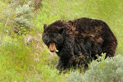 Black Bear Near Tower Roosevelt in Yellowstone