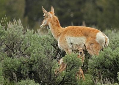 Pronghorn baby and Mom in Yellowstone near Hayden Valley