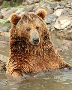 Grizzly Bear at the Montana Rescue Center