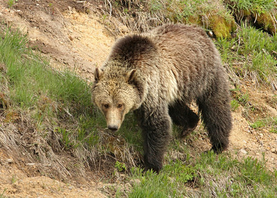 Grizzly Bear At Sedge Bay