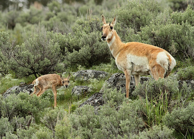 Pronghorn mom and baby near Hayden Valley