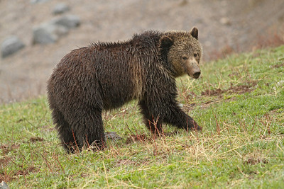 Young Grizzly in front of the Yellowstone Lake