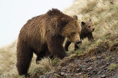Mom and  Cub at Dunraven's Pass