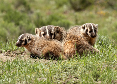 Badger mom and cubs near Lamar Valley
